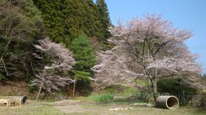 20120424_cherry_blossom_032