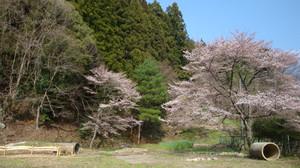 20120424_cherry_blossom_033