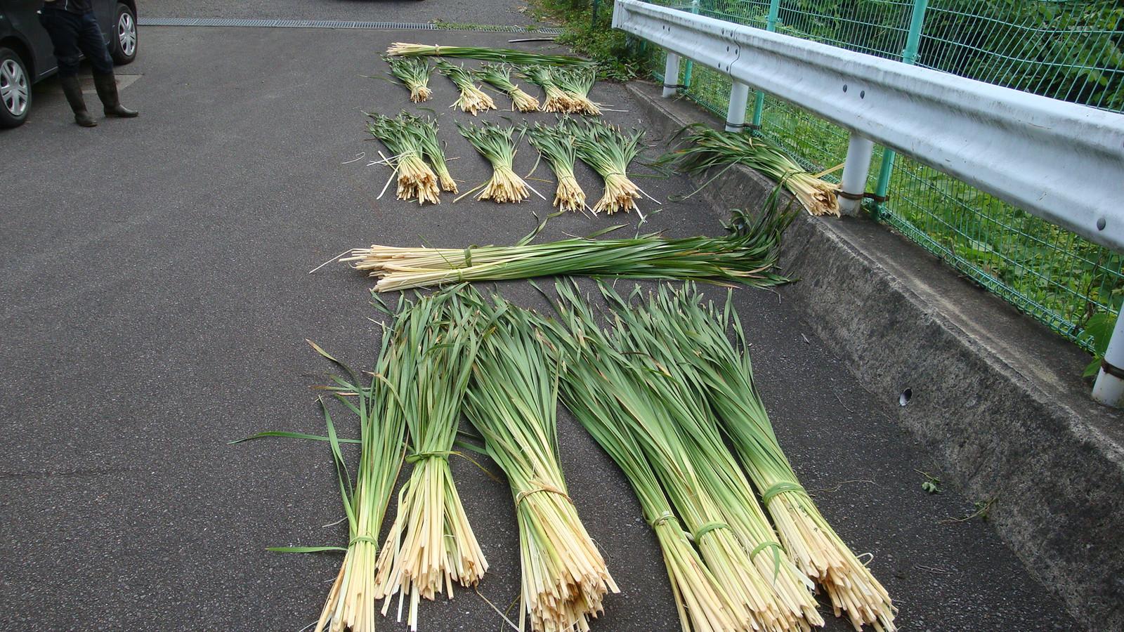 20160719_the_gama_leaves_harvesting